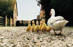 ducks-row.jpg